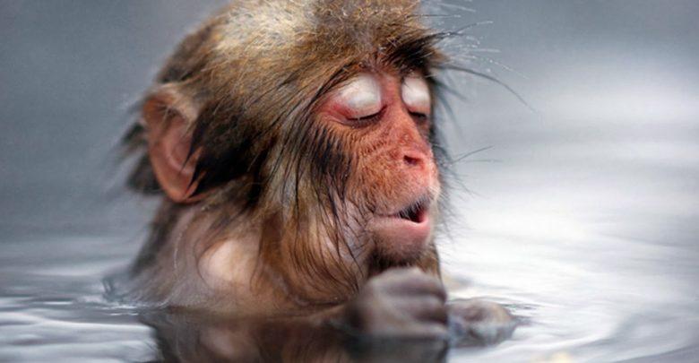 Peli o manta. Japón animales. Monos en la nieve