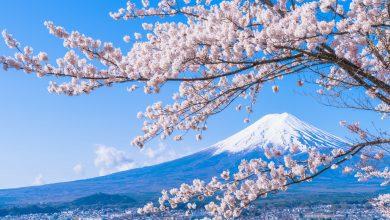 Peli o manta. La flor oculta del cerezo. Fuji